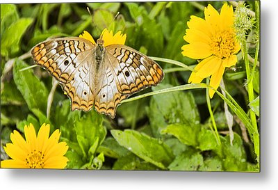 Butterfly On Yellow Flower Metal Print by Don Durfee