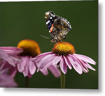Metal Print featuring the photograph Butterfly Red Admiral On Echinacea by Peter v Quenter