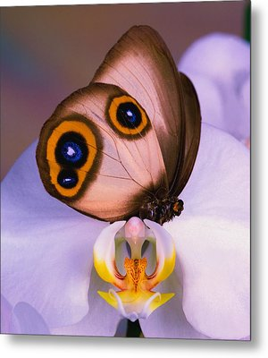 Butterfly Silky Owl  Taenaris Catops Metal Print by Leslie Crotty
