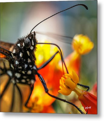 Butterfly Tongue Squared Metal Print by TK Goforth