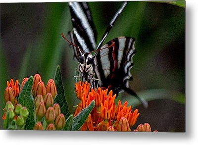 Butterfly Weed Metal Print by Karen McKenzie McAdoo