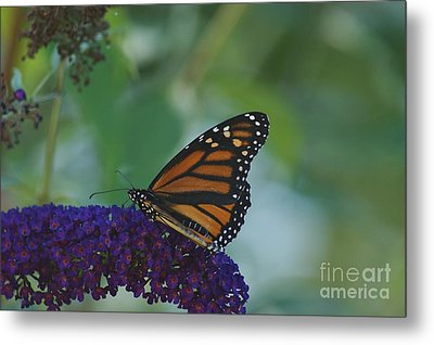 Butterflybush Metal Print by Christopher Mace
