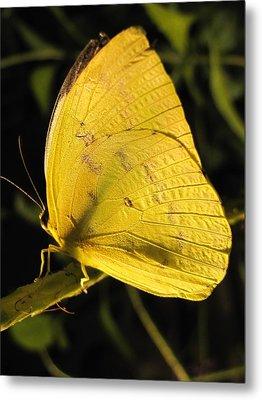 Butterscotch Metal Print by Jennifer Wheatley Wolf