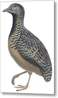 Button Quail Metal Print by Anonymous