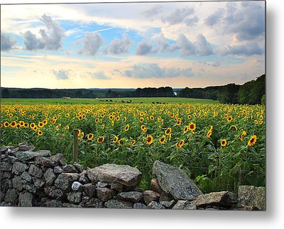 Buttonwood Farm Sunflowers Metal Print by Andrea Galiffi