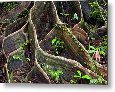 Buttress Roots Metal Print by Alex Hyde