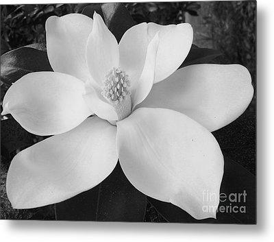 B W Magnolia Blossom Metal Print by D Hackett