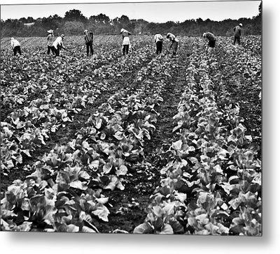Metal Print featuring the photograph Cabbage Farming by Ricky L Jones
