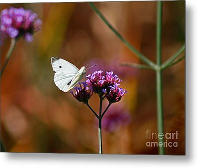 Cabbage White Butterfly In Fall Metal Print by Karen Adams