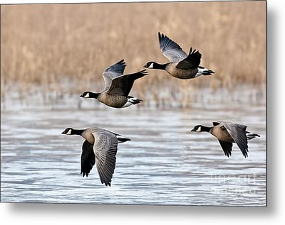 Cackling Geese Flying Metal Print by Anthony Mercieca