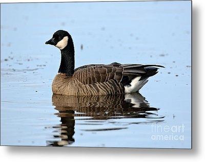 Cackling Goose In Water Metal Print by Anthony Mercieca