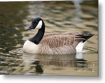 Cackling Goose Metal Print by Sharon Talson