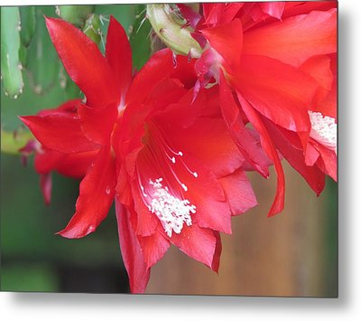 Cactus Blooming Metal Print by Diane Mitchell