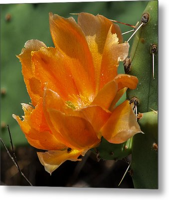 Cactus Flower In Orange Metal Print by Toma Caul