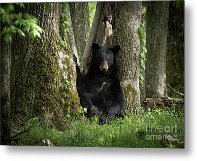 Cades Cove Bear Metal Print