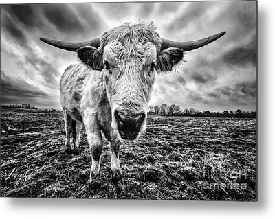 Cadzow White Cow Female Metal Print