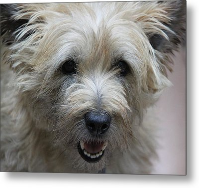 Cairn Terrier - Best Little Pal In The World... Metal Print