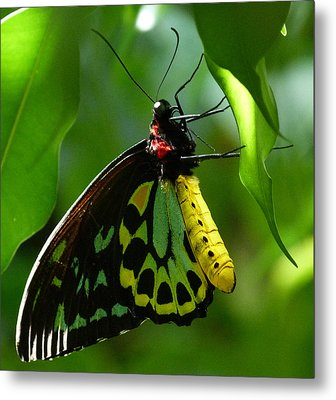 Cairns Birdwing Butterfly 3 Metal Print