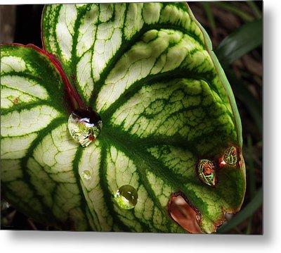 Caladium Leaf After Rain Metal Print by Deborah Smith