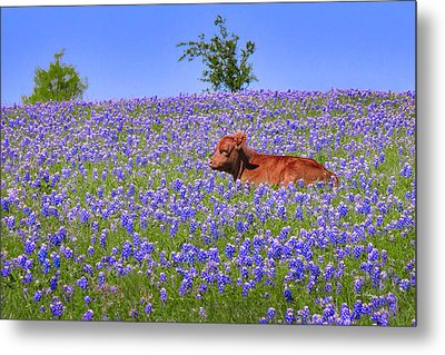 Metal Print featuring the photograph Calf Nestled In Bluebonnets - Texas Wildflowers Landscape Cow by Jon Holiday