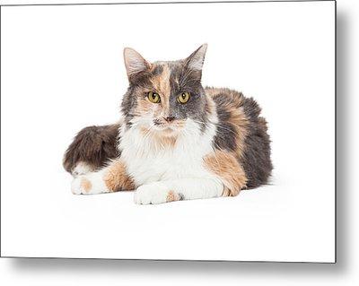 Calico Domestic Longhair Cat Laying Metal Print