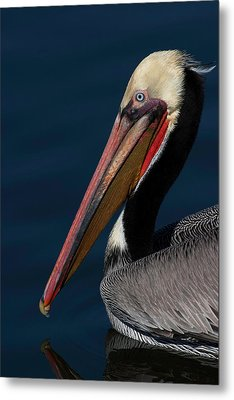 Metal Print featuring the photograph California Brown Pelican Portrait by Ram Vasudev