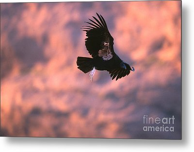California Condor Metal Print by Art Wolfe