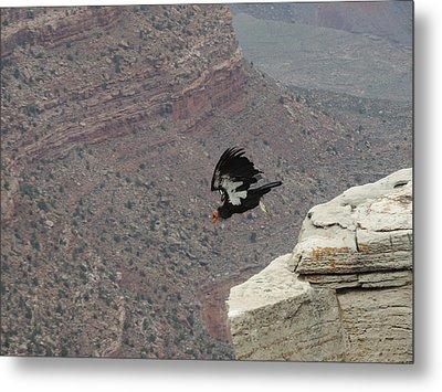 California Condor Taking Flight Metal Print