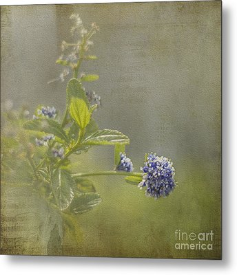 California Lilac Metal Print by Clare Bambers