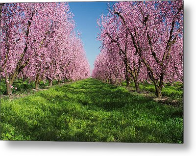 California Peach Tree Orchard  Metal Print by Anonymous