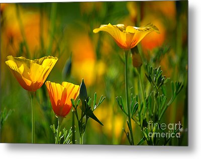 California Poppies Metal Print by Deb Halloran