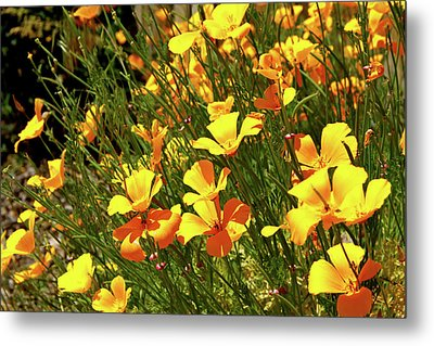 California Poppies Metal Print by Ed  Riche