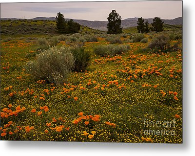 California Poppies In The Antelope Valley Metal Print