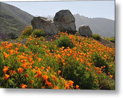 Metal Print featuring the photograph California Poppies by Lynn Bauer