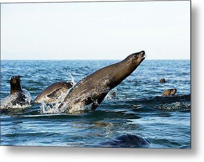 California Sea Lion Breaching Metal Print by Christopher Swann