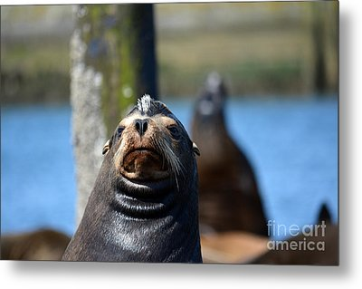 California Sea Lion Metal Print