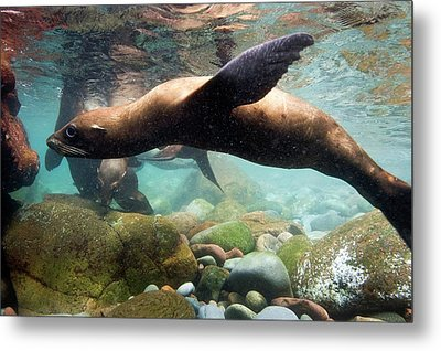 California Sea Lion In Shallow Water Metal Print by Christopher Swann