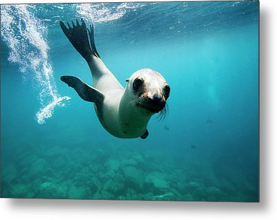 California Sea Lion Pup Metal Print by Christopher Swann