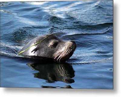 California Sea Lion  Metal Print