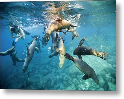 California Sea Lions And Snorkeller Metal Print by Christopher Swann