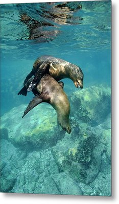 California Sea Lions In Shallow Water Metal Print by Christopher Swann