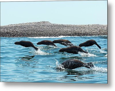 California Sea Lions Leaping Metal Print by Christopher Swann