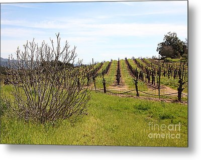 California Vineyards In Late Winter Just Before The Bloom 5d22121 Metal Print by Wingsdomain Art and Photography