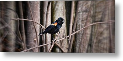 Call Of The Red Winged Blackbird Metal Print