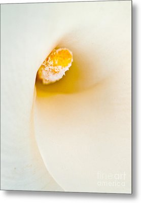 Calla Lilly Metal Print by Bill Gallagher