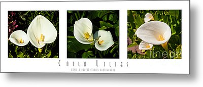 Calla Lilly Color Triptych Metal Print