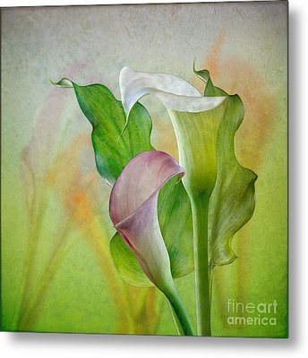 Calla Lily Garden Metal Print by Shirley Mangini