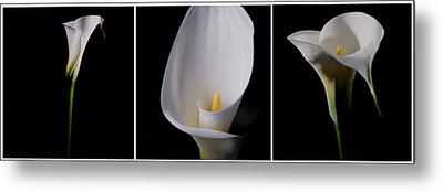 Metal Print featuring the photograph Calla Lily by Lana Enderle