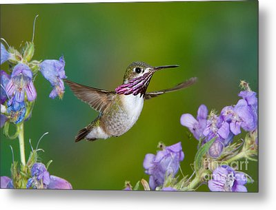 Calliope Hummingbird Metal Print by Anthony Mercieca