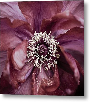 Camellia Metal Print by Frank Tschakert